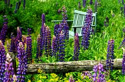 a wooden bench surrounded by a field of purple Lupines